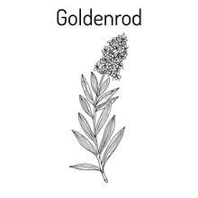 Goldenrod Solidago Virgaurea ,...