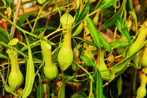 Fotografía  Green nepenthes in the garden.Tropical pitcher plants