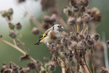 European Goldfinch Young Eating Burdock. Cute Colorful Songbird. Bird In Wildlife.