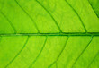 big green leaf with veins background