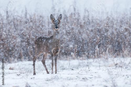 Deurstickers Ree Wild roe deer in a snowstorm
