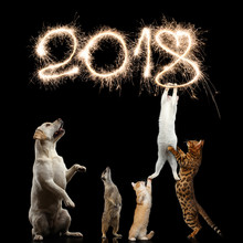 Cats, Dog And Meerkat Preparing For The New 2018 Year, Decorate Sparklers Digits Or Kitties Want To Steal Christmas, On Isolated Black Background