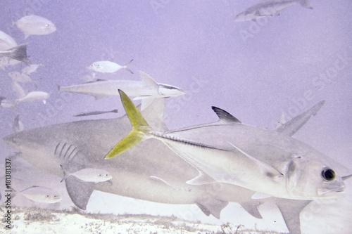 Plakat Nurkowanie z Bull Sharks na Karaibach - Fotografia podwodna tło