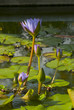 Water lilly, Nymphaea caerulea. Lilies Floating on a Lake. Purple Water Lily flowers in full Bloom. Guatemala