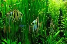 Aquarium Fische Skalare In Gro...