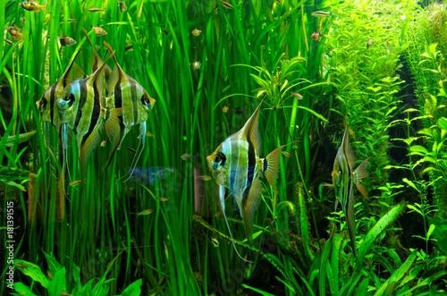 Aquarium Fische Skalare in großem Meeresaquarium mit vielen Wasserpflanzen im Hi Canvas Print