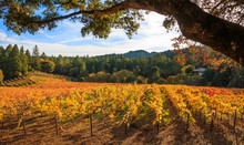 A Panoramic Of Autumn Colors Of Yellow And Red In A Vineyard. An Oak Tree Frames The Top Of The Image. Pine And Hard Wood Trees And A Blue Sky With Puffy White Clouds Are In The Background.