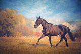 Fototapeta Konie - Black horse galloping on the trees and sky background in autumn