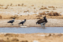 Martial Eagle Drinking At Pool