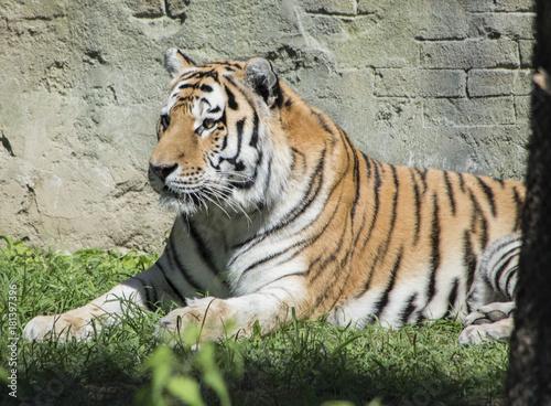 Foto auf AluDibond Tiger Tigre