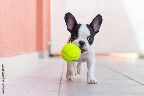 Obraz French bulldog puppy playing with his ball - fototapety do salonu