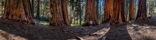 Panorama Of Woman In Sequoia G...