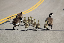Two Families Of Canada Geese W...