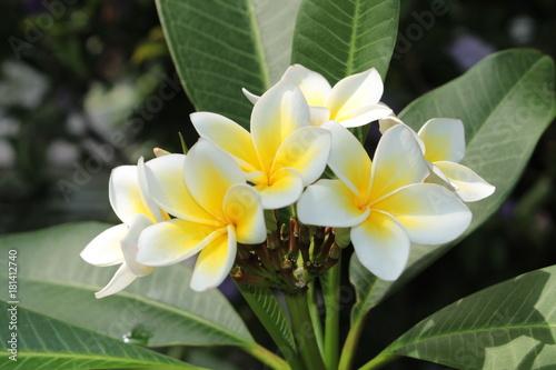 Yellow And White Frangipani Flowers Or Plumeria Jasmine Mango