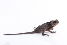 Scale-Bellied Tree Lizard On White Background , Lizard Of Thailand
