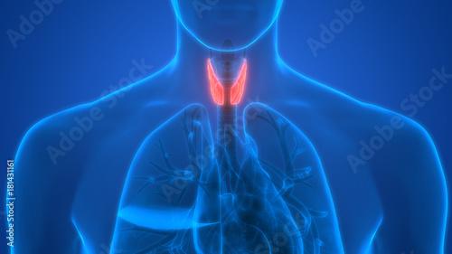 Human Body Glands Anatomy (Lobes of Thyroid Gland) Canvas Print