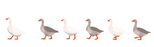 Flock Of Domestic Geese Isolat...