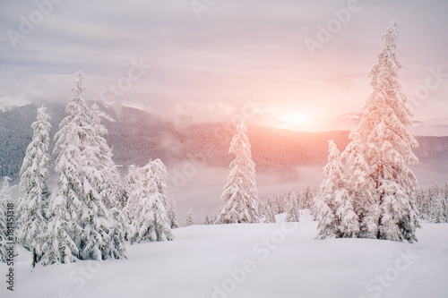 Magic fir trees covered by snow in mountains