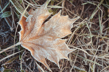 Fading Forsted Maple Leaf On F...