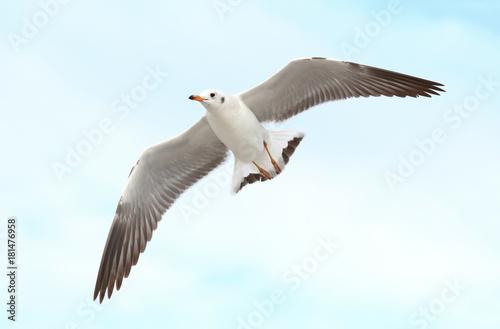 Zdjęcie XXL mewa leci na niebie