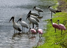 Wood Storks And Spoonbills In ...