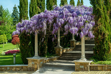 Beautiful Purple Wisteria Flow...