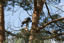 A Couple Of Forest Pigeons Sit...