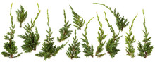 Fresh Green Pine Leaves Isolat...