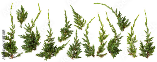 Canvastavla Fresh green pine leaves isolated on white background
