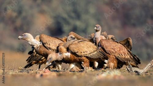 Wall Murals Horses Two griffon vulture (Gyps fulvus)