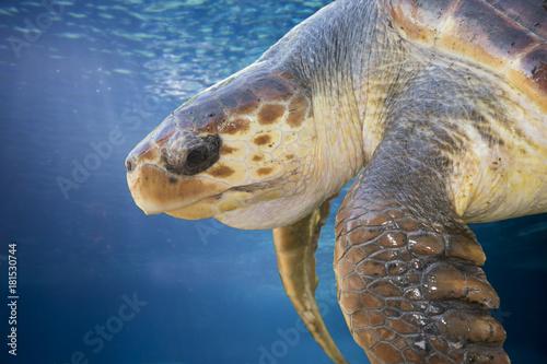 Fotografia, Obraz Loggerhead turtle on a naturel background