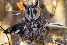 Long-eared Owl In Fall Forest ...