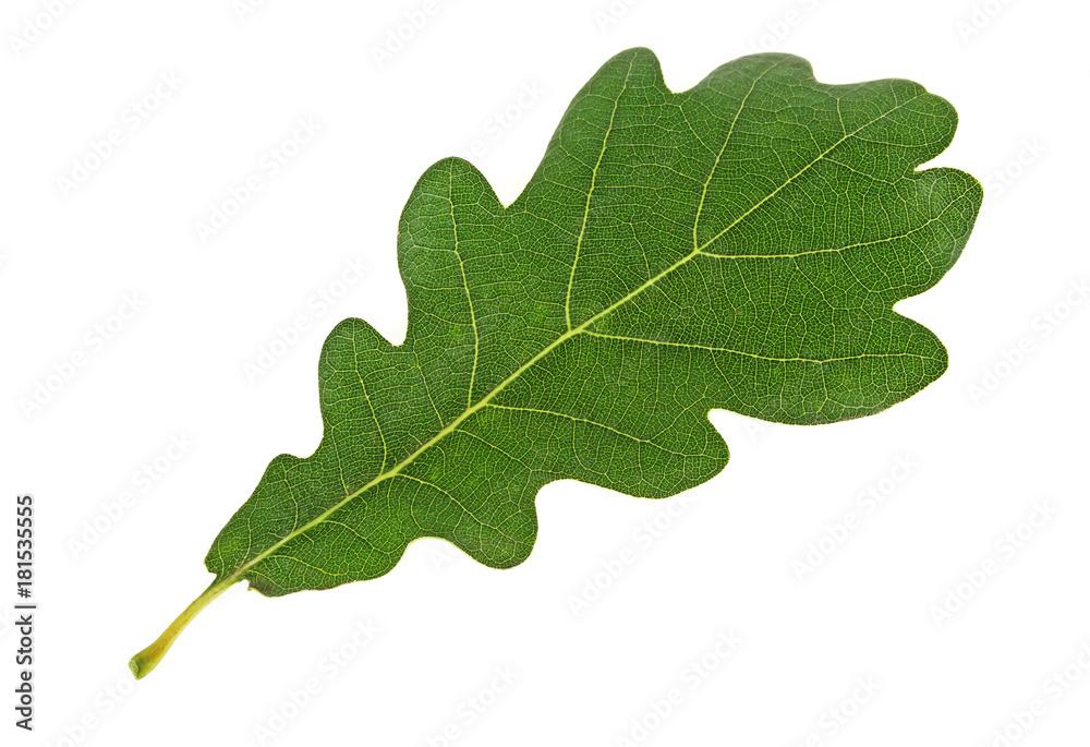 Fotografie, Obraz Green oak leaf isolated on a white background