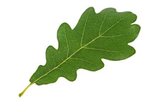 Green Oak Leaf Isolated On A W...
