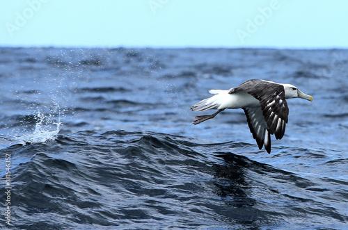 Obraz na plátne Albatross1