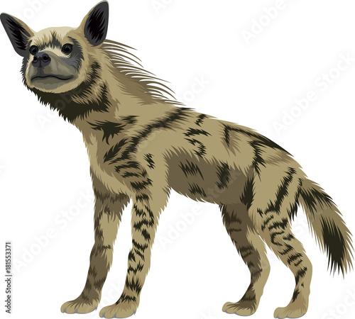 Papiers peints Hyène vector striped hyena
