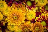Fototapeta Kwiaty - Mums in warm fall colors fill the frame.