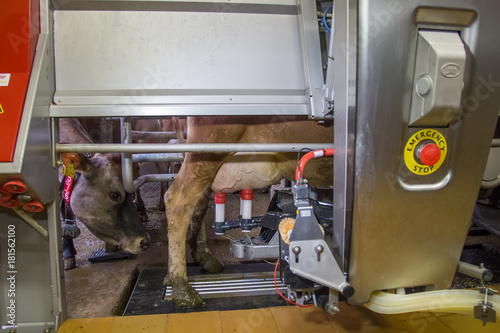 Fotografie, Obraz  Milking the cows with a fully automated milking robot