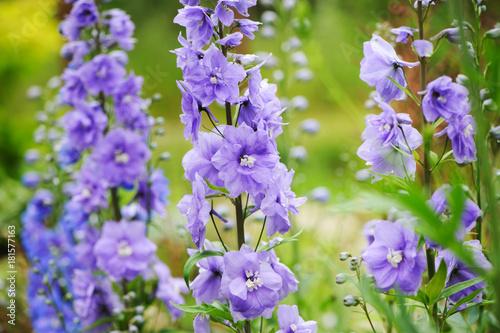 Carta da parati flowering delphinium closeup in summer garden