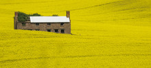An Abandoned Farmhouse Sits In A Large, Yellow Canola Meadow In Herefordshire, UK