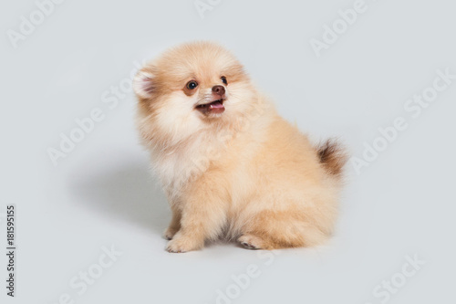 Photo  Puppy is a spitz. Yellow dog in the studio.