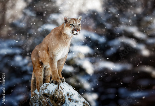 Spoed Fotobehang Puma Portrait of a cougar, mountain lion, puma, panther, striking a pose on a fallen tree, Winter scene in the woods