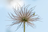 Closeup of the fruits of a pasque flower - 181602728