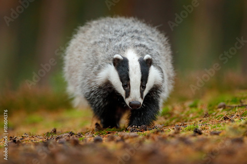Badger running in forest, animal nature habitat, Germany, Europe Canvas Print