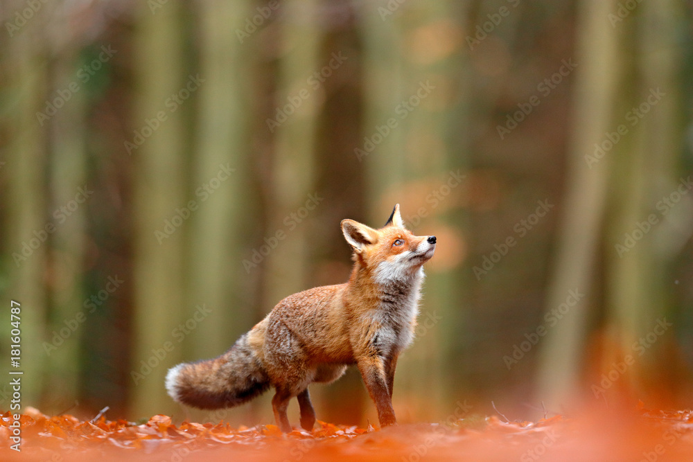 Fototapety, obrazy: Cute Red Fox, Vulpes vulpes, fall forest. Beautiful animal in the nature habitat. Orange fox, detail portrait, Czech. Wildlife scene from the wild nature. Red fox running in orange autumn leaves.