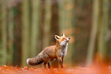 Cute Red Fox, Vulpes Vulpes, F...