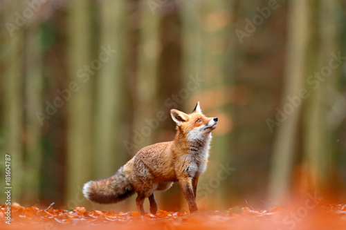 Photo Cute Red Fox, Vulpes vulpes, fall forest