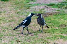 Adult And Juvenile Australian ...