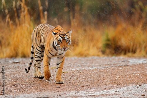 Fototapeta premium Tygrys chodzenie po żwirowej drodze. Wildlife India. Tygrys indyjski z pierwszym deszczem, dzikie zwierzę w środowisku naturalnym, Ranthambore, Indie. Duży kot, zagrożone zwierzę. Koniec pory suchej, początek monsunu.