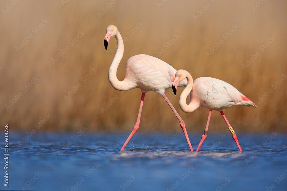 Pair of flamingos. Bird love in blue water. Two animal, walking in lake. Pink big bird Greater Flamingo, Phoenicopterus ruber, in the water, Camargue, France. Wildlife bird behaviour, nature habitat
